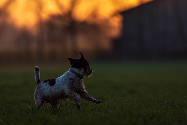 Hund tobt abends im Garten