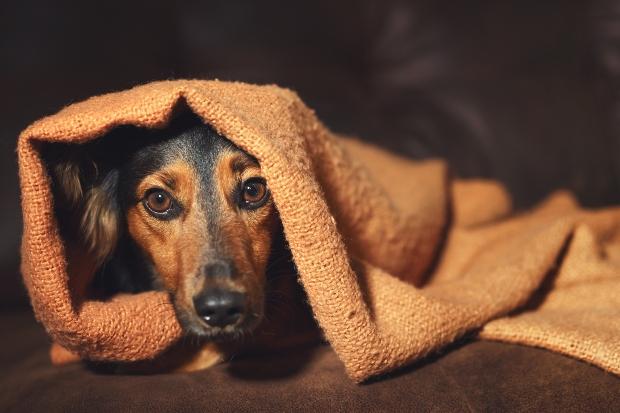 Hund sitzt verängstigt unter einer Decke