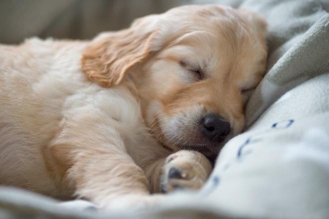 Welpe schläft - Tipps, damit Welpen nachts durchschlafen können
