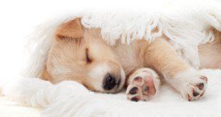 Schlafender Welpe - Tipps, damit Welpe nachts durchschlafen kann