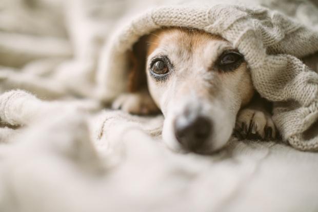 Welpe liegt im Bett mit geöffneten Augen - Tipps, damit Welpen nachts durchschlafen können