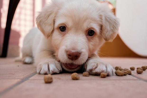 Welpe knabbert auf Hundekausnacks - Tipps, damit Welpen nachts durchschlafen können