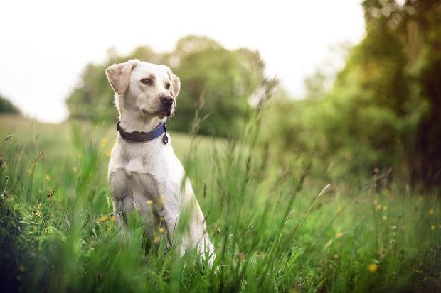 Hund mit Hundehalsband sitzt im Gras - das Halsband als Schutz vor Hundezecken