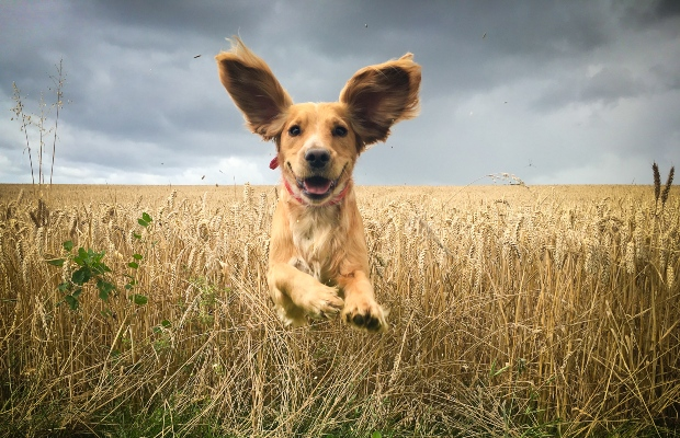 Hund springt durchs Kornfeld mit wehenden Ohren - Ohrenpflege bei Hunden ist wichtig