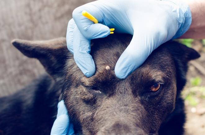 Zecke am Hundekopf - Jemand hat eine spezielle Zange zum Entfernen von Hundezecken
