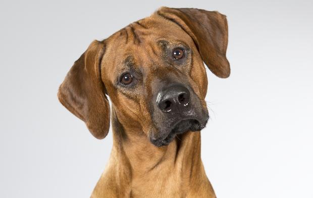 Hund mit abgeknickten Ohren - Ohrenpflege bei Hunden ist wichtig