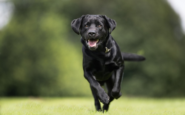 Labrador rennt über Wiese - Joggen mit Hund wenn dieser lauffreudig ist