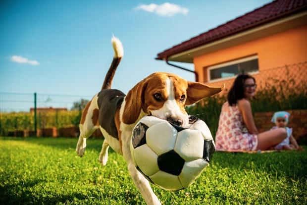 Beagle spielt im Garten mit Hund - Kleinhunde