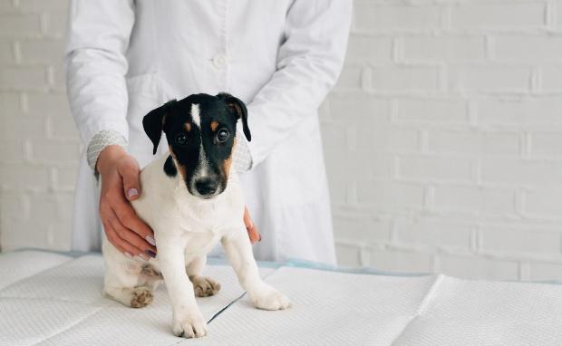 Junger Hund wird vom Tierarzt untersucht - Hüftdysplasie bei Hunden