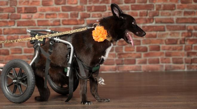 Hund mit einer rollenden Gehhilfe - Hüftdysplasie bei Hunden