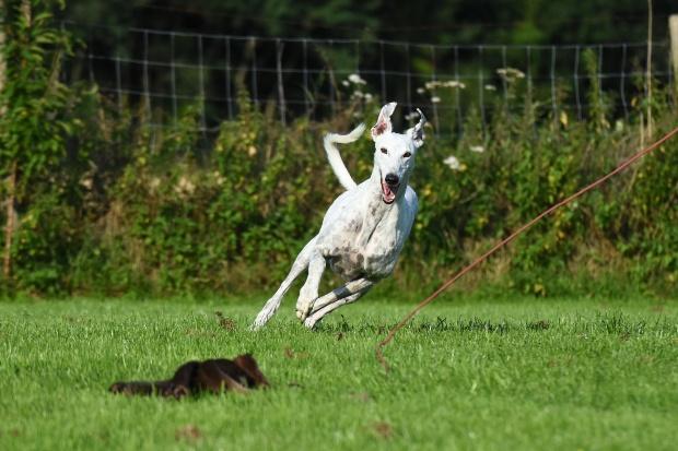 Hund jagd nach Beute an der Reizangel