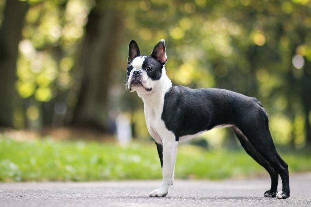 Junger Bosten Terrier (FCI Gruppe 11) - Gesellschaftshunde