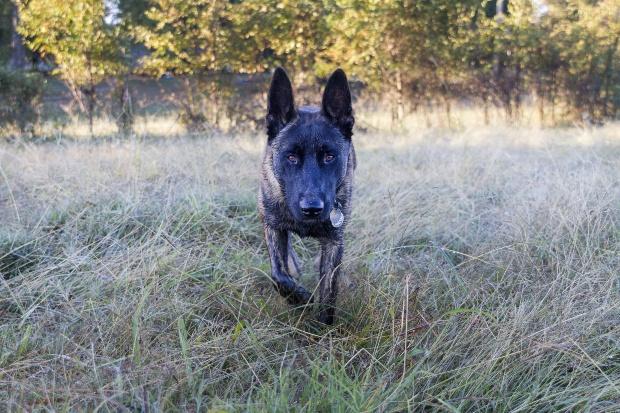 Hund läuft durchs Gras, konzentriert, vielleicht aggressiv - Körpersprache bei Hunden