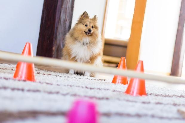Hund steht zuhause vor einem Hindernis - den Hund zuhause beschäftigen