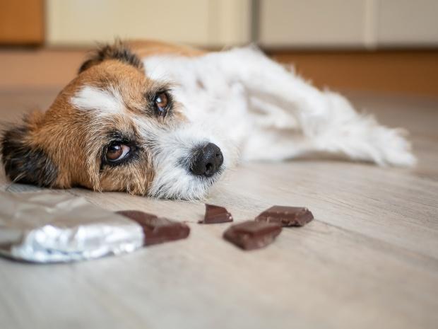Hund liegt neben Schokolade - Bauchschmerzen beim Hund