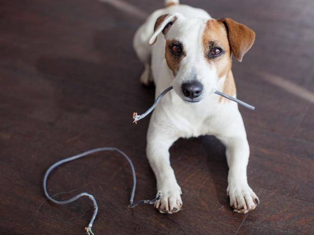 Hund knabbert auf Kabel herum
