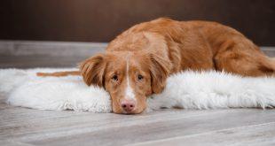 Bauchschmerzen beim Hund
