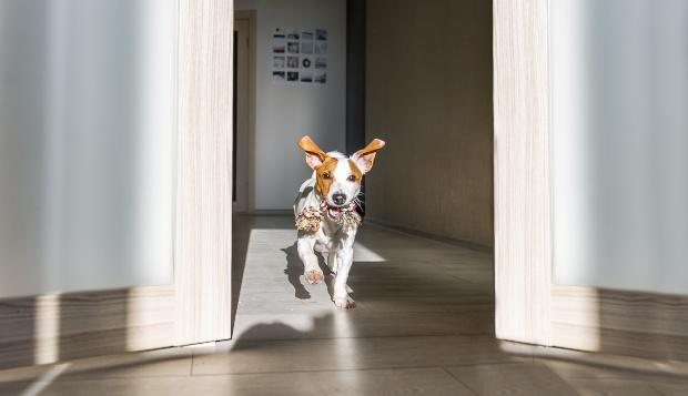Hund rennt mit Spielzeug durch eine Wohnung