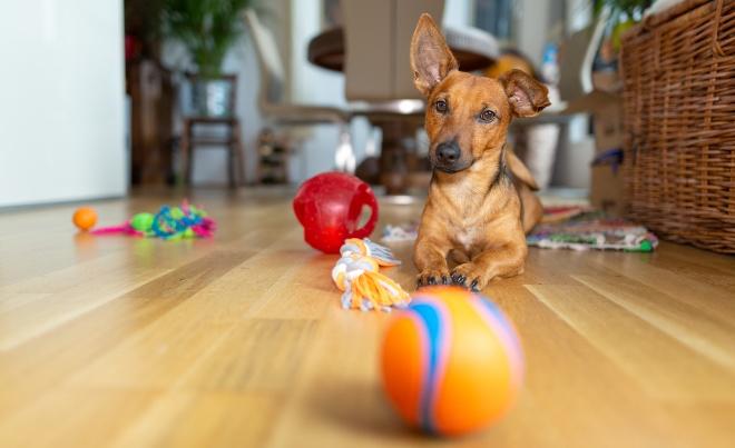 Junger Hund sitzt zuhause vor einigem Spielzeug - den Hund zuhause beschäftigen