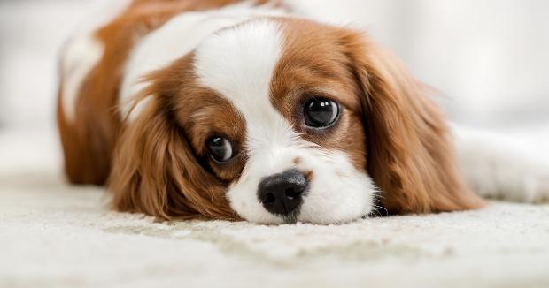 Traurig blickender Welpe - Bauchschmerzen beim Hund erkennen und behandeln