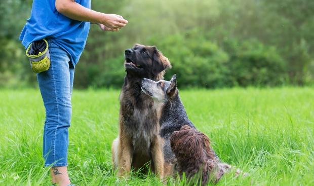 Hundetrainer gibt 2 Hunden Leckerlis - Körpersprache bei Hunden