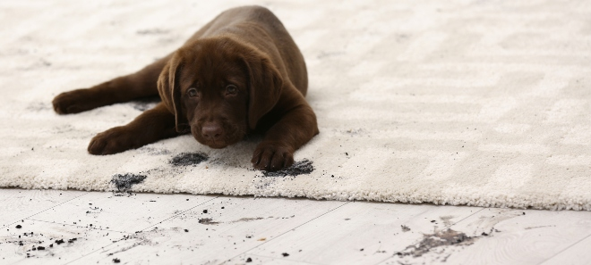 Hund hinterlässt Dreckspuren im Haus - sauberen Haushalt mit Hund organisieren
