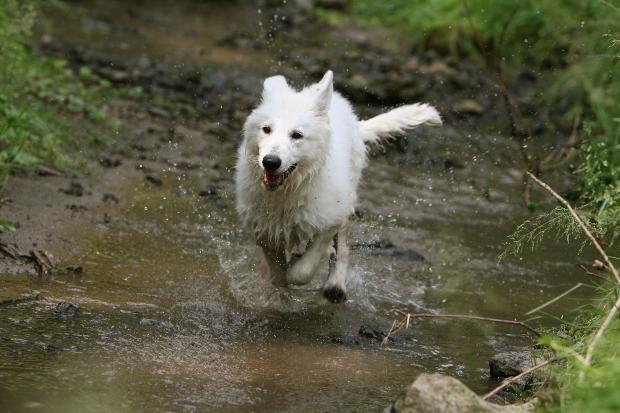 Hund rennt durch Bach