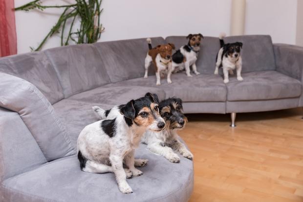 Junge Hunde stehen auf großer Couch