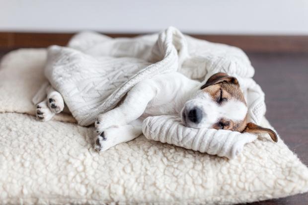 Junger Hund schläft