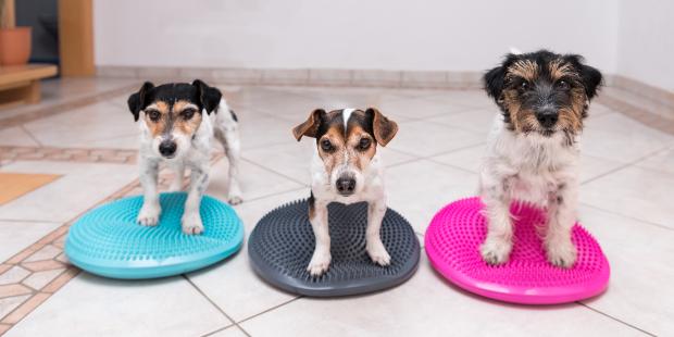 3 Hunde stehen auf Balancekissen