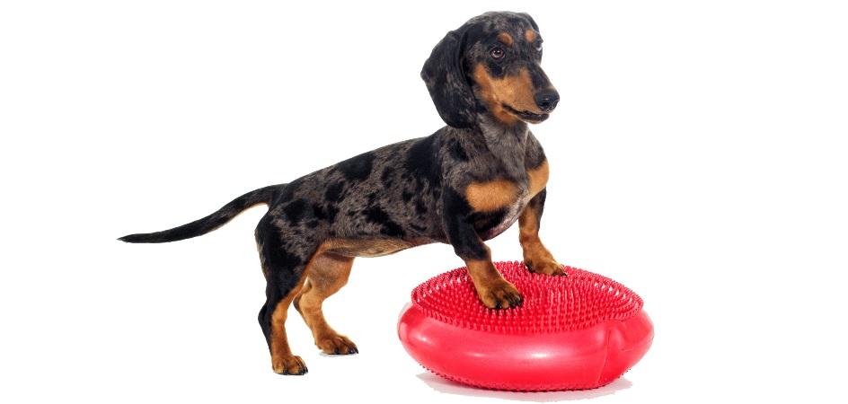Hund steht auf Balancekissen