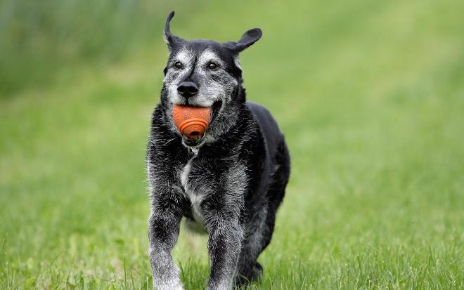 Älterer Hund mit Ball - auch Hundesenioren sollten körperlich aktiv bleiben