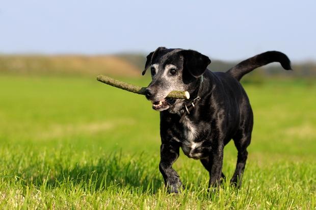 Älterer Hund holt Stöckchen