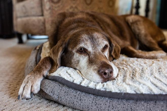 Älterer Hund liegt auf Schlafplatz - Hundesenioren sind nicht mehr so aktiv